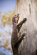 Goanna Photos - Wild Goanna by Tim Hester