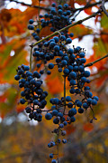 Indiana Autumn Acrylic Prints - Wild Grapes Acrylic Print by Jim McCain