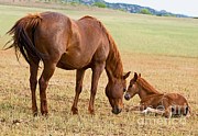 Foal Framed Prints - Wild Horse Mother And Foal Framed Print by Millard H. Sharp