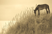 Wild Animal Photo Posters - Wild Horse on the Outer Banks Poster by Diane Diederich