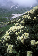 White Flower Photos - Wild Rhododendrons On A Hillside by Anonymous