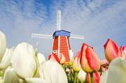 Featured Framed Prints - Windmill And Tulips At Wooden Shoe Framed Print by Dan Sherwood