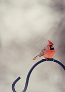Male Northern Cardinal Photos - Winter Cardinal by Heather Applegate