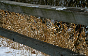 Split Rail Fence Prints - Winter Grass Print by Susan Herber