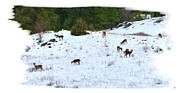 Grazing Snow Prints - Winter Grazing Print by Will Borden