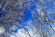 Cold Weather Prints - Winter trees and blue sky Print by Elena Elisseeva