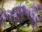 Wisteria Posters - Wisteria in Bloom Poster by Jessica Jenney