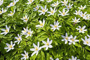 Thimbleweed Prints - Wood Anemone Print by Design Windmill