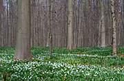 Carpet Photo Posters - Wood Anemone Spring Forest Poster by Dirk Ercken