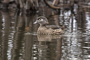 Eunice Gibb - Wood Duck