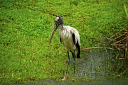 Endangered Pyrography Prints - Wood Stork Print by Jim Freeman