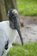 Laurie Perry - Wood Stork