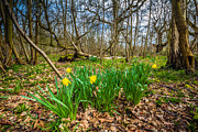 Dawn OConnor - Woodland Daffodils