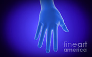 Human Body Parts Posters - X-ray View Of Human Hand Poster by Stocktrek Images
