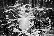 Invasive Species Photo Prints - Xanthsoma Elephant Ear Plant Growing In Flooded Wetlands In Florida Usa Print by Joe Fox
