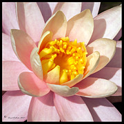 David Lester Prints - Yellow And Pink Delight Print by David Lester