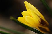 Larry Ricker - Yellow Crocus