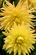 Background Prints - Yellow Dahlia Print by Jacqui Martin