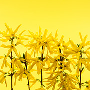 Yellow Forsythia Flowers Print by Elena Elisseeva