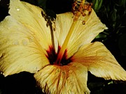 D Hackett - Yellow Hibiscus