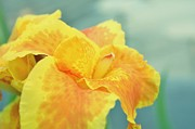 Flower Photographs Digital Art Prints - Yellow Iris Print by Cathie Tyler