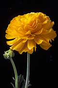 Peaceful Still Life Framed Prints - Yellow Ranunculus Framed Print by Garry Gay