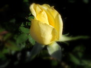 Diannah Lynch - Yellow Rose