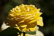 Yellow Rose Print by Steve Purnell
