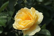 Theresa Willingham - Yellow Rose