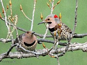 Morph Prints - Yellow-Shafted Northern Flickers Print by J McCombie
