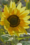 Yellow And Orange Sunflower Prints - Yellow Sunflower Print by Roy Thoman