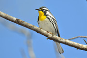 Warbler Originals - Yellow-throated Warbler by Alan Lenk