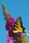 Mark Dodd - Yellow Tiger Swallowtail Papilio Glaucus Butterfly