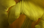 Barbara Smith Metal Prints - Yellow Tulip Metal Print by Barbara Smith