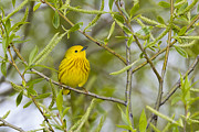 Jack R Perry - Yellow Warbler