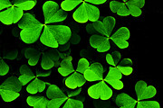 Edible Posters - Yellow Wood Sorrel Poster by Thomas R Fletcher