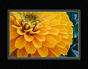 Matting Framed Prints - Yellow Zinnia Close-Up Framed Print by Charles Feagans