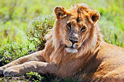 Lion Art - Young adult male lion on savanna. Safari in Serengeti. Tanzania. Africa by Michal Bednarek