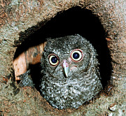 Baby Bird Prints - Young Screech Owl Otis Asio Print by Millard H. Sharp