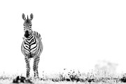 High And Low Framed Prints - Zebra Facing Forward Washed Out Sky Bw Framed Print by Mike Gaudaur