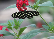 Zebra Butterfly Acrylic Prints - Zebra Longwing Butterfly Acrylic Print by Rosalie Scanlon