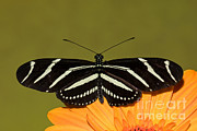 Fauna Metal Prints - Zebra Longwing Metal Print by Millard H. Sharp