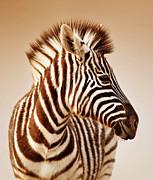 Zebra Portrait Print by Johan Swanepoel