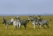 Science Photo Library - Zebra
