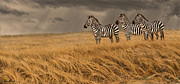 Blaise Framed Prints - Zebra Trio Framed Print by Aaron Blaise