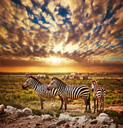 Zebras Herd On African Savanna At Sunset. Print by Michal Bednarek
