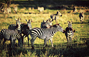 Sunny Art - Zebras herd on African savanna. by Michal Bednarek
