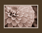 Matting Framed Prints - Zinnia Close-Up Framed Print by Charles Feagans