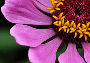 Zinnia Elegans Framed Prints - Zinnia Closeup Framed Print by Chris Fleming