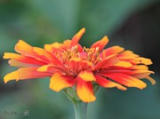 Whirlygig Framed Prints - Zinnia from the Whirligig Mix Framed Print by J McCombie